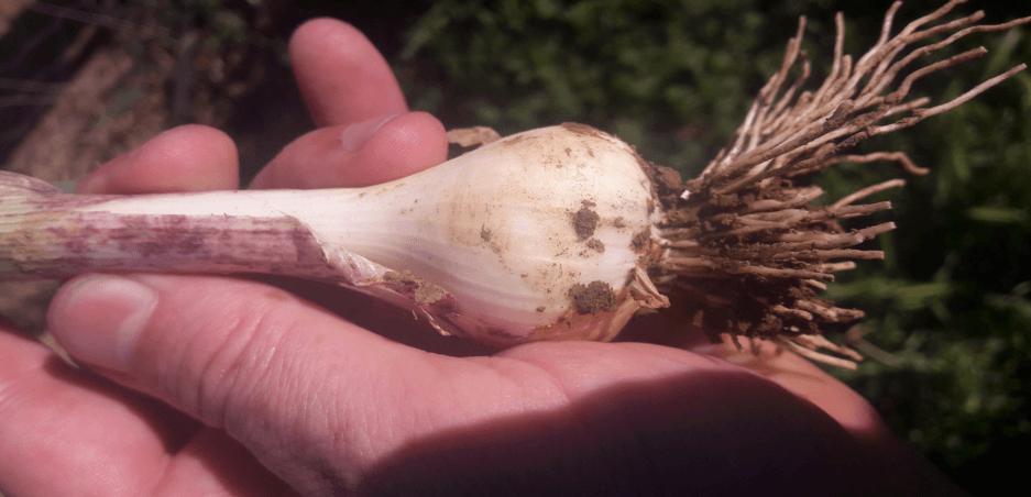 Figure 3 : 2017 Garlic Quality